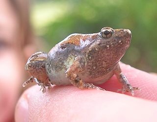 <i>Microhyla ornata</i> Species of amphibian