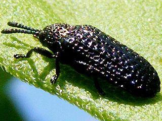 <i>Microrhopala</i> Genus of beetles
