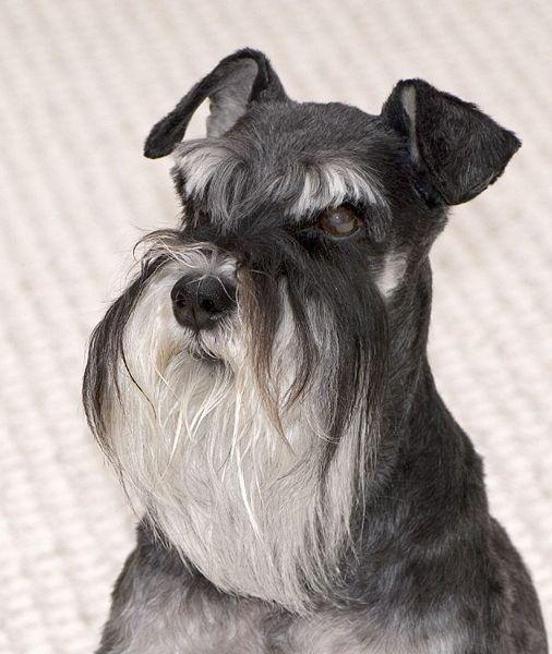 schnauzer con barba, de color negro y blanco, gris