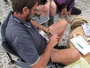 Miranda Naturalists' Trust - Adrian Riegen banding a bar-tailed godwit
