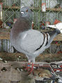 Modena pigeon.jpg