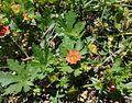 Modiola caroliniana, Sutton Forest, New South Wales.jpg