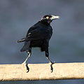 Molothrus (Scaphidura) oryzivorus-Giant Cowbird.JPG