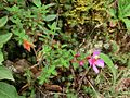 Monochaetum sp Costa Rica 2.jpg
