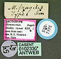 Monomorium pharaonis casent0102330 label 1.jpg