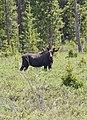 Moose -4 (2617550730).jpg