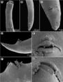 Moravec & Justine - New Cucullanidae - parasite200044-fig13.png