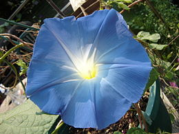 Morning Glory 1