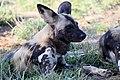 Mosetlha, Madikwe Game Reserve, South Africa (45949728305).jpg