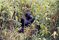 Mountain gorilla virunga1.jpg