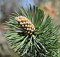 Mrzezyno Pinus mugo male flower yellow 2010-05.jpg