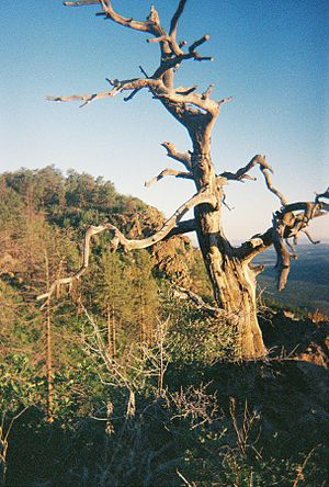 Mount Trumbull Wilderness - Dead tree at the top of Mt. Trumbull