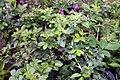 Murraya paniculata Lakeview 2zz.jpg
