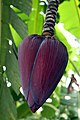 Musa acuminata 17zz.jpg