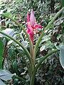 Musa velutina, flower.jpg