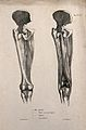 Muscles and bones of the upper leg and pelvis; two figures. Wellcome V0008189ER.jpg