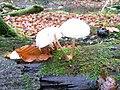 Mushrooms at Kvärkabäcken.jpg