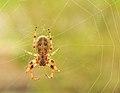 My window spider is back in business (4493247349).jpg