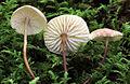 Mycetinis scorodonius 334947.jpg