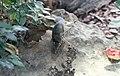 Nördliches Spitzhörnchen Tupaia belangeri Blumengärten Hirschstetten Wien 2014 a.jpg