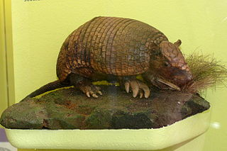 Southern naked-tailed armadillo species of mammal