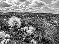 Nahansicht Pflanze schwarz-weis, Großes Torfmoor, Hille.jpg
