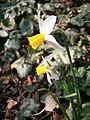 Narcissus Jack Snipe02.jpg