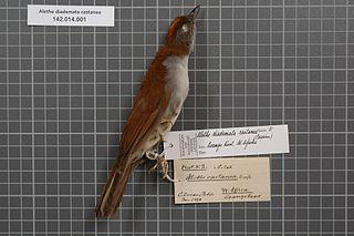 White-tailed alethe species of bird