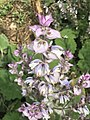 Naturesage Clary Sage Seed Oil Bloom.jpg