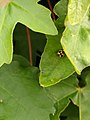 Natuurpark Lelystad - Propylea quatuordecimpunctata.jpg