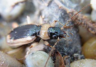 <i>Nebria livida</i> Species of beetle