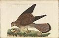 Nederlandsche vogelen (KB) - Falco tinnunculus (308b).jpg