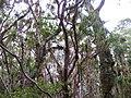 Neinei forest (Dracophyllum spp.) - panoramio.jpg