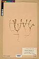 Neuchâtel Herbarium - Alyssum alyssoides - NEU000021949.jpg