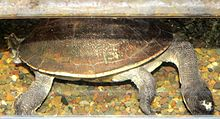 New Guinea snake-necked turtle.jpg