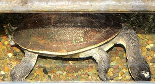 New Guinea snake-necked turtle species of reptile