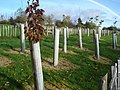 New tree planting at Ervey wood - geograph.org.uk - 610815.jpg