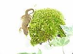 Newt with moss - 2008-02-10.jpg
