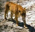 Ngorongoro lioness.jpg