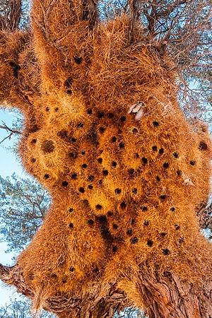 Sociable weaver nest (Philetairus socius), Sossusvlei, Namibia