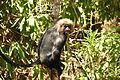 Nilgiri-Langur (Trachypithecus johnii) 2.JPG