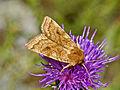 Noctuidae - Xestia ochreago.jpg