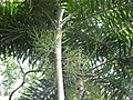 Normanbya normanbyi crown and inflorescences SF21098.jpg