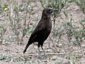 Northern Anteater-Chat RWD3.jpg