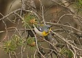 Northern Parula, Tawas Point State Park, 17 May 2015 (17615254679).jpg