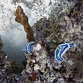 Nudibranch (208664919).jpeg