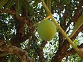 Nuwakot mango photos 59.JPG