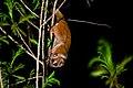Nycticebus coucang, Sunda slow loris - Kaeng Krachan National Park (25704660113).jpg