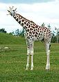 ONTARIO-00522 - Young Rothschild's Giraffe (14851266202).jpg