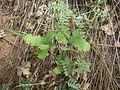 Oak seedling.JPG